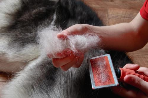 Concept of spring moulting dogs. Boy holds in hands lump wool Siberian husky and rakers brush. Close-up.